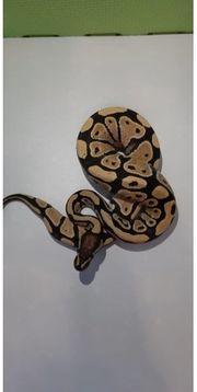 königspythons im angebot
