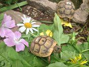Maurische Landschildkröten Nachzuchten testudo graeca