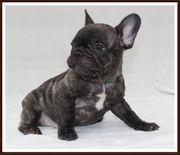 Französische Bulldoggen 8 Wochen alt