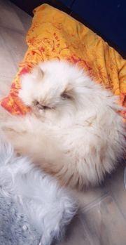 schöne Perser Katze