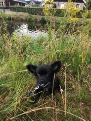 Chihuahua Welpe Mini abzugeben schwarz