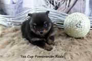 Teacup Pomeranianhündinwelpe Black-tan