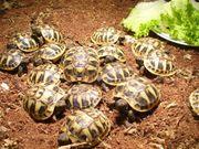 Griech Landschildkrötenbabys aus 2019