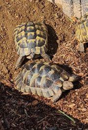 Maurische Landschildkröten Zuchtpaar