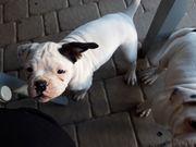 Boxer- amerikanische Bulldoggen Welpe