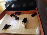 6 süße Labradormixe suchen ein