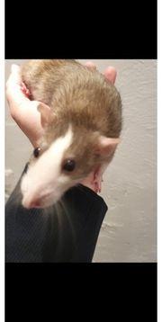 Ratten Mädels und ein Siam