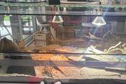 Bartagame in Glas Terrarium 150x60x60