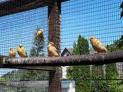 Kanarienvögelsehr schöne Vögel von 2021