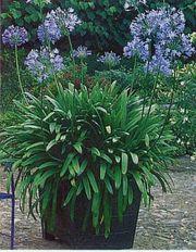 Agapanthus - Schmucklilie weiß und blau