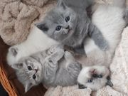 Sehr süße bkh kitten