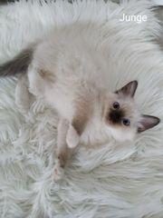 Ragdoll Kitten sind auszugsbereit