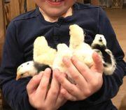 Wieder frei Lohnbrut Kücken Hühner