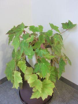 Zimmerpflanzen Kentiapalme Begonie Einblatt Bogenhanf: Kleinanzeigen aus München Schwabing-West - Rubrik Pflanzen