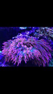 Anemone quadricolor Sunburst