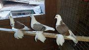 verschiedene Tauben