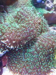 Meerwasser Weichkorallen zu verschenken