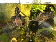 1 Gewöhnliche Moschusschildkröten
