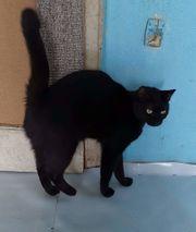 Schwarze Schmusekatze sucht zu Hause