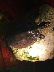 Mississippi Höckerschildkröte