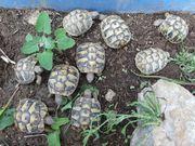 Griechische Landschildkröten THB Naturbrut von