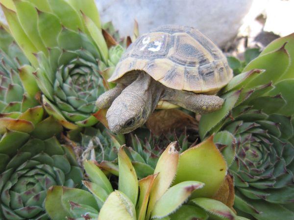 Schöne Griechische Landschildkröten
