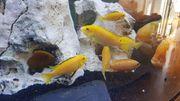 Gruppe yellows 5-10cm