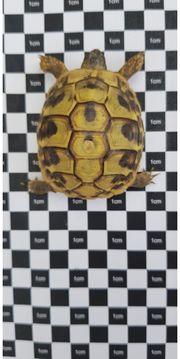 Testudo hermanni griechische Landschildkröten