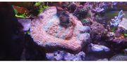 Koralle Ableger meerwasser