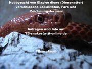 Elaphe dione Dionenatter Russland Barnaul-Altai