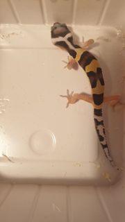 1 0 Leopardgecko Bandit