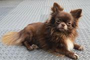Deckrüde Chihuahua in Langhaar