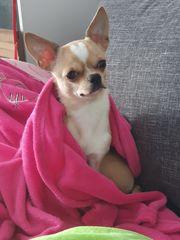 Suche Chihuahua hündin