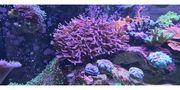 Korallen Montipora Seriatopora Affenhaar