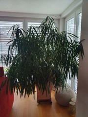 Ficus Pflanze ca 185 cm