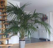 Große schön gewachsene Palme