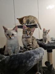 BKH-Bengal Mix-Kitte