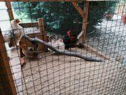 Ayam Serama Hühner