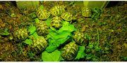 Griechische Landschildkröten Nachzuchten 2018