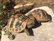 Griechische Landschildkröten Nachzuchten 2020