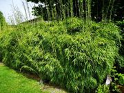 Bambus Hecke