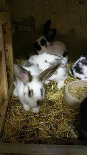 Kaninchen Hasen Stallkaninchen