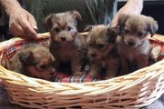 Chihuahua Yorkshire mix Welpen