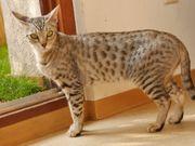 F5 Savannah Katzen - Yugito Fiby