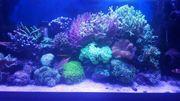 Meerwasser Korallen Lebendgestein