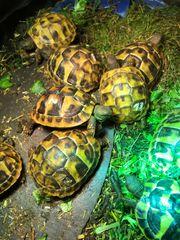 Griechische Landschildkröten der robusten Ostrasse