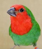 Rotköpfige Papageiamadine 1 0 männlich