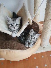 BKH Kitten black silver tabby