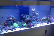 Wir suchen Korallen LPS Euphyllia