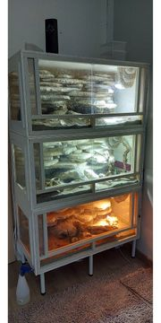 Leopardgeckos Zuchtpaare mit Terrarium und